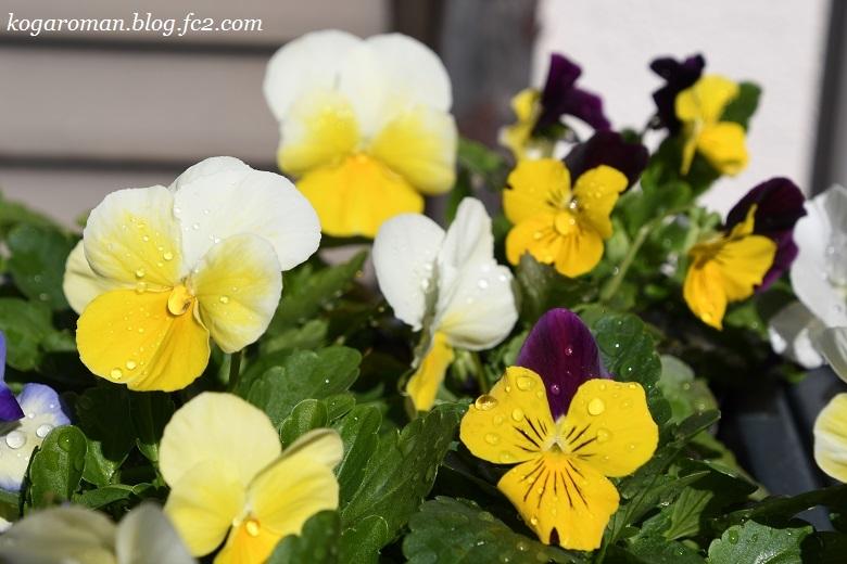 よく咲くスミレ種まき日記(5)4