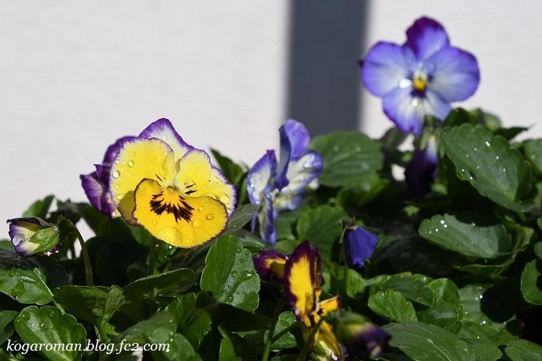 よく咲くスミレ種まき日記(5)5