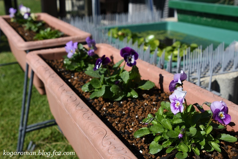 よく咲くスミレ種まき日記(5)7