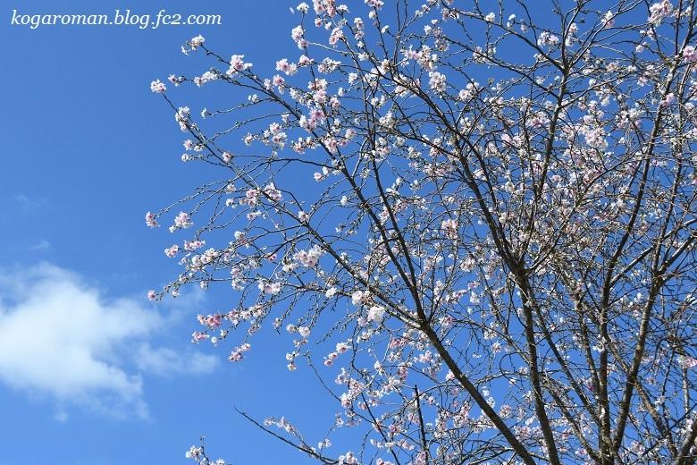 2018農産物直売所の冬桜