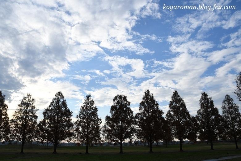 渡良瀬遊水地のメタセコイア3