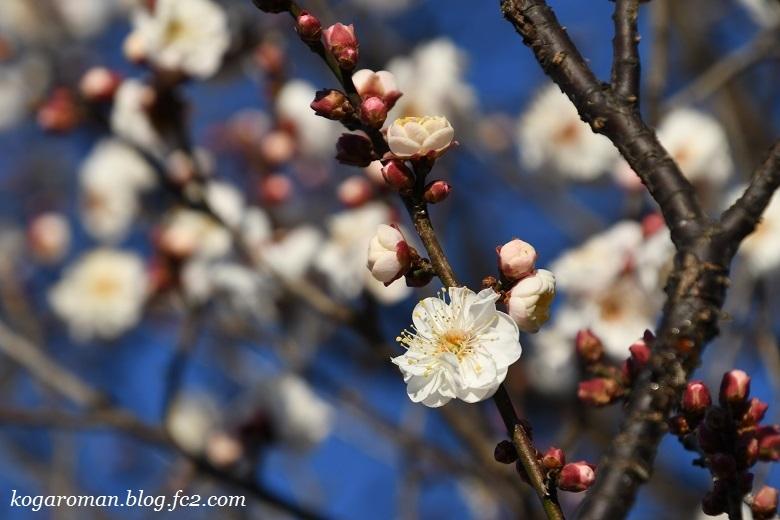 谷中湖の梅の花2