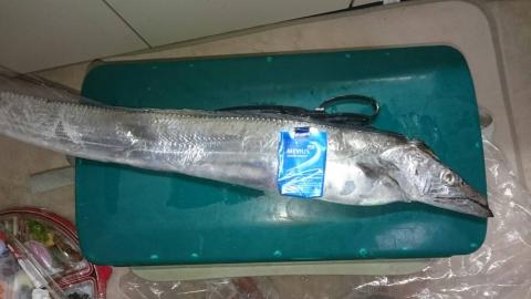 ハルミ太刀魚