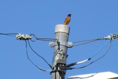 10月21日、電柱の野鳥
