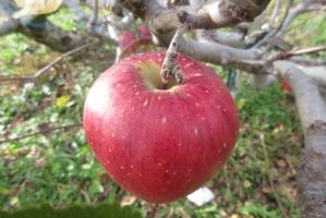 木に成っている赤りんご