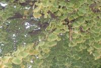 大手公園の黄色くなりかかったイチョウの葉