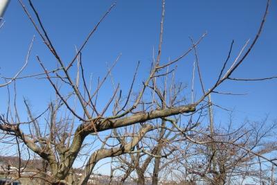 2019年1月、愛甲の柿の木