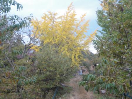 栗山のイチョウの黄葉
