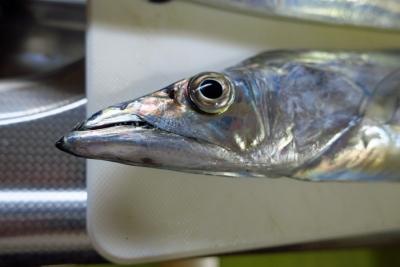 18_10_17太刀魚1