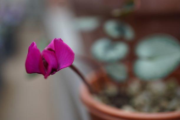 こぼれ種ちゃんが咲いたら。。。アラ可愛い❤そして春咲き種も楽しみ!(о´∀`о)
