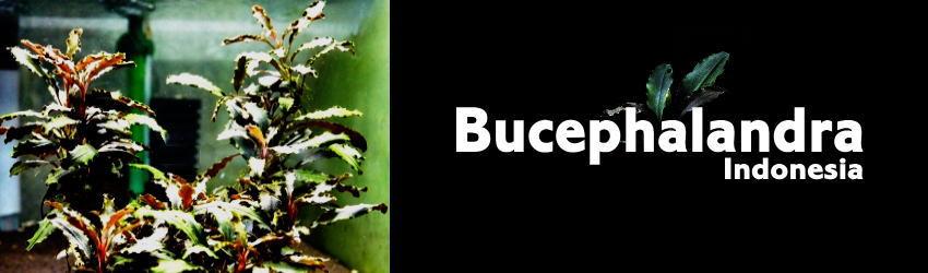 buce.jpg