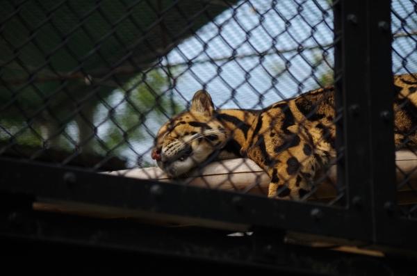 福岡市動物園のウンピョウ ジュール君♂ 2004.9.1生