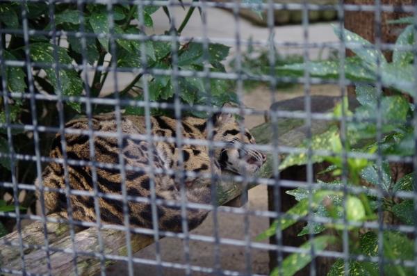 福岡市動物園のウンピョウ イーナちゃん ♀2004.9.1生