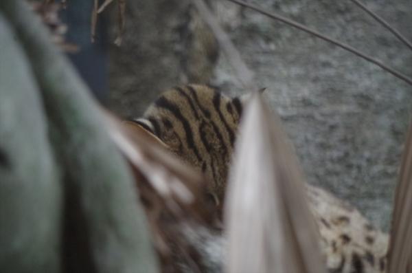 コマチちゃん ♀ #ベンガルヤマネコ 福岡市動物園