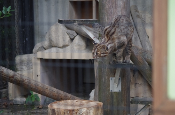 福岡市動物園のツシマヤマネコ むぅ君♂