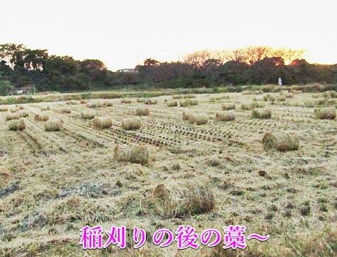 稲刈りの後の藁~