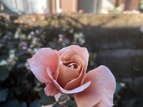 バラの花が
