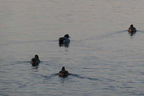 鴨たちの泳ぎ