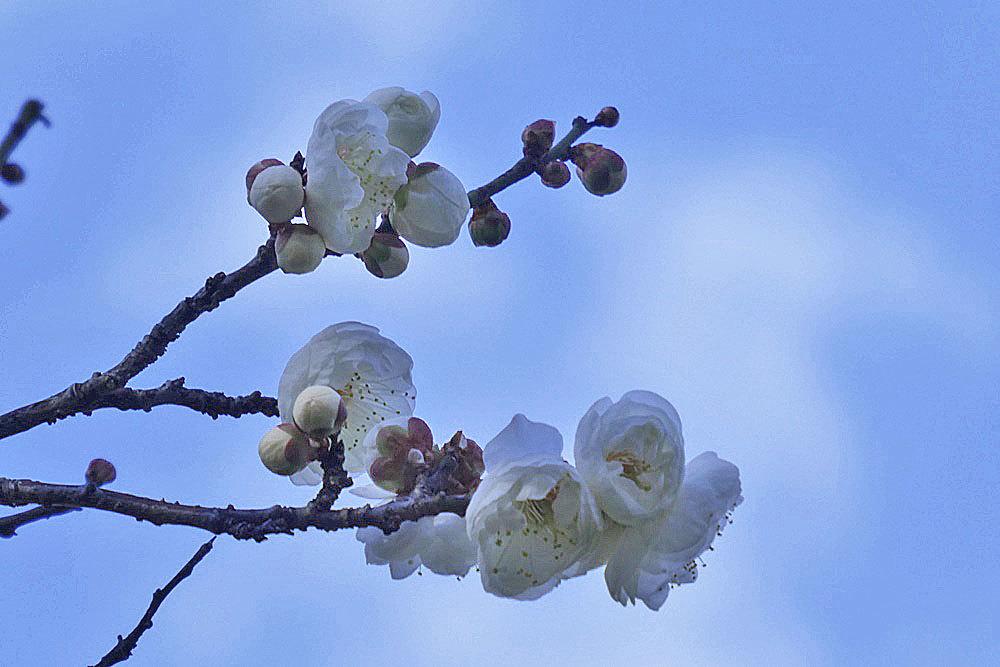 梅の花しろ