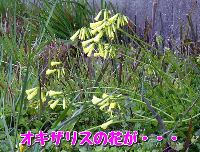 オキザリスの花が