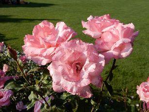 4日目ベルン薔薇公園 (3)