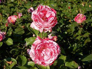 4日目ベルン薔薇公園 (2)