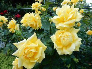 4日目ベルン薔薇公園 (5)