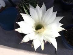 IMG_181026_2227 今朝のサボテンの花・正面_VGA