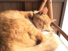 IMG_181106_2270 椅子の上で日向ぼっこ中のトラ美ちゃん_VGA
