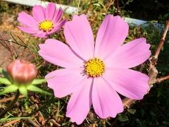 IMG_181107_2272 家の周りの花壇に咲いていたコスモスの花_VGA