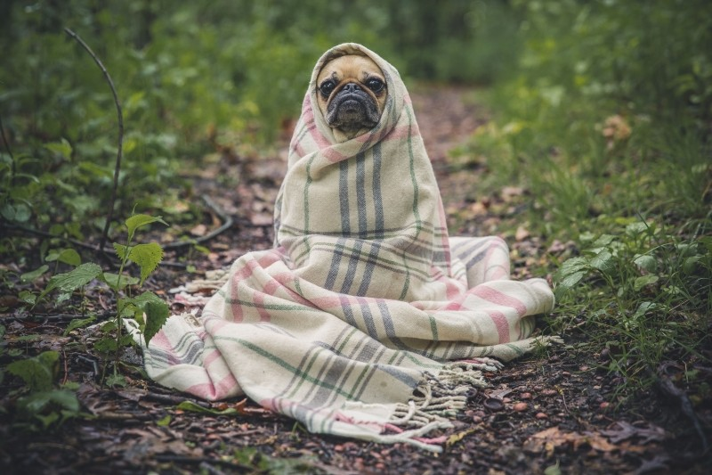 portrait-of-french-bulldog-wrapped-in-blanket-on-forest-path.jpg
