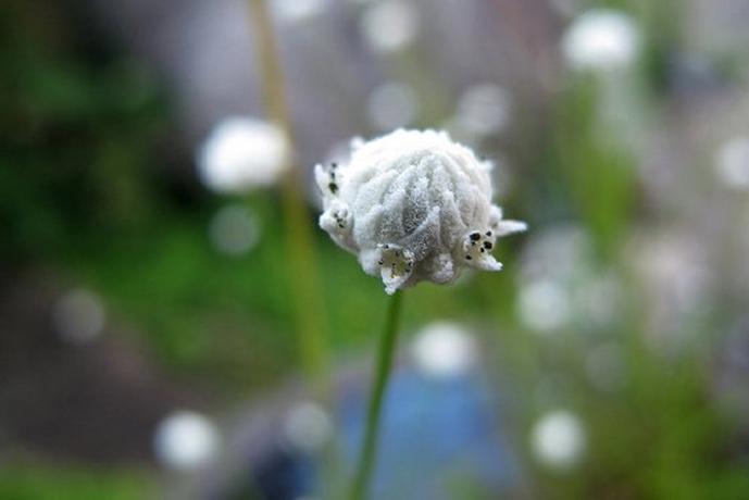 1107 - シラタマホシクサ純粋な心