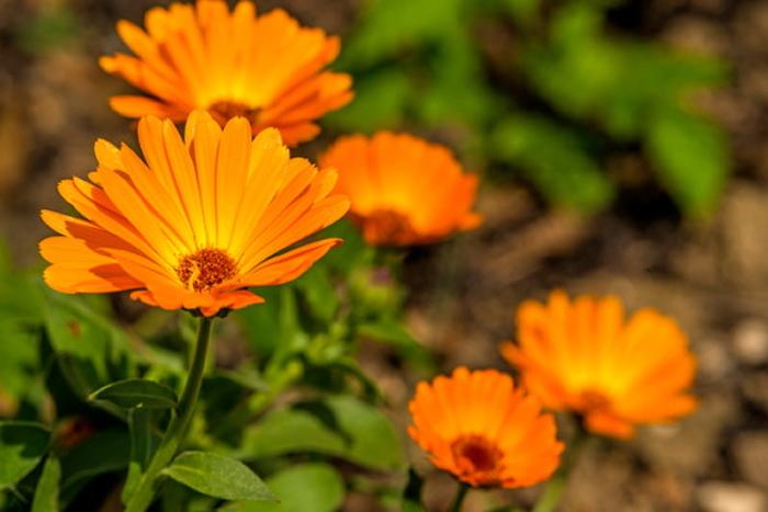 0112 - キンセンカ(金盞花) 別れの悲しみ
