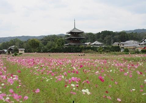 11 法起寺のコスモス