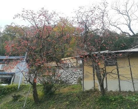 19 柿の木