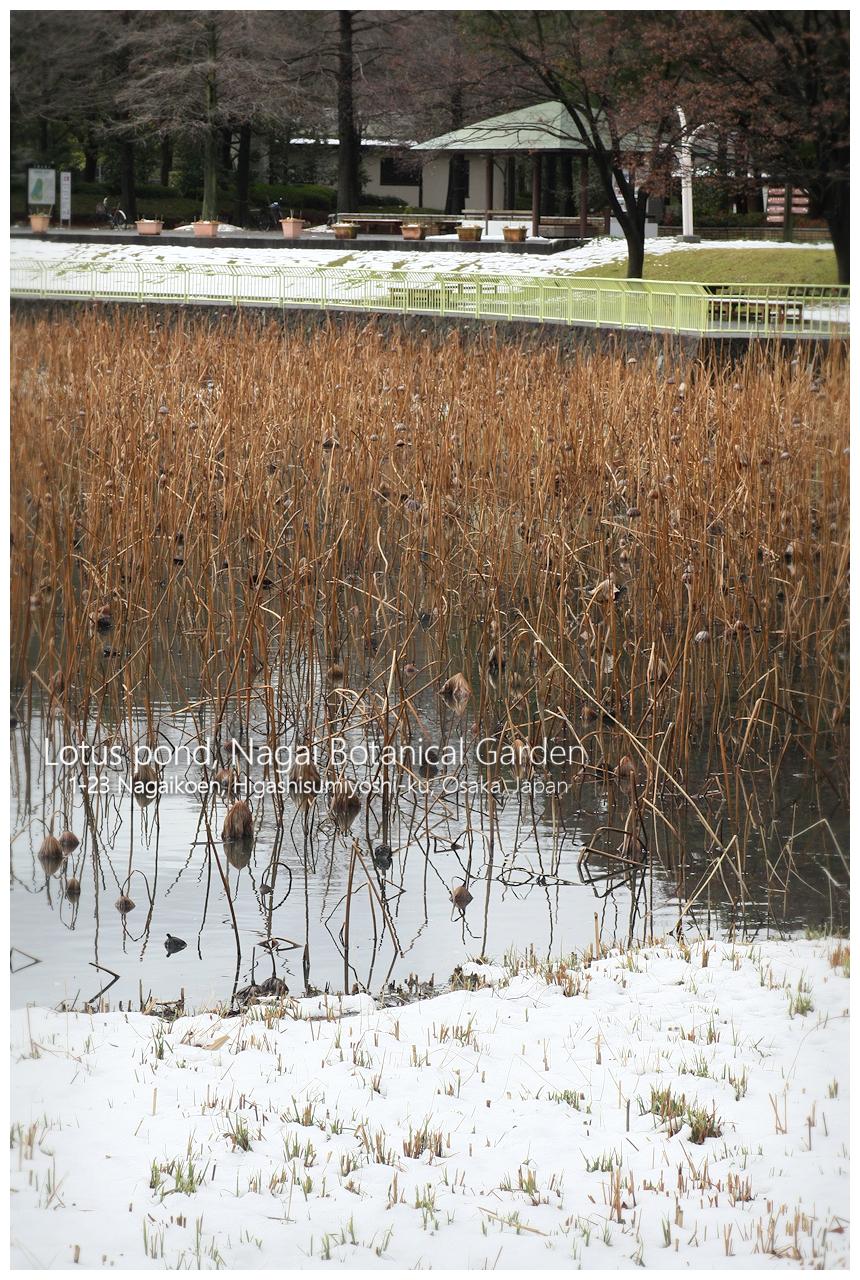 長居植物園 雪景色 蓮池 大池