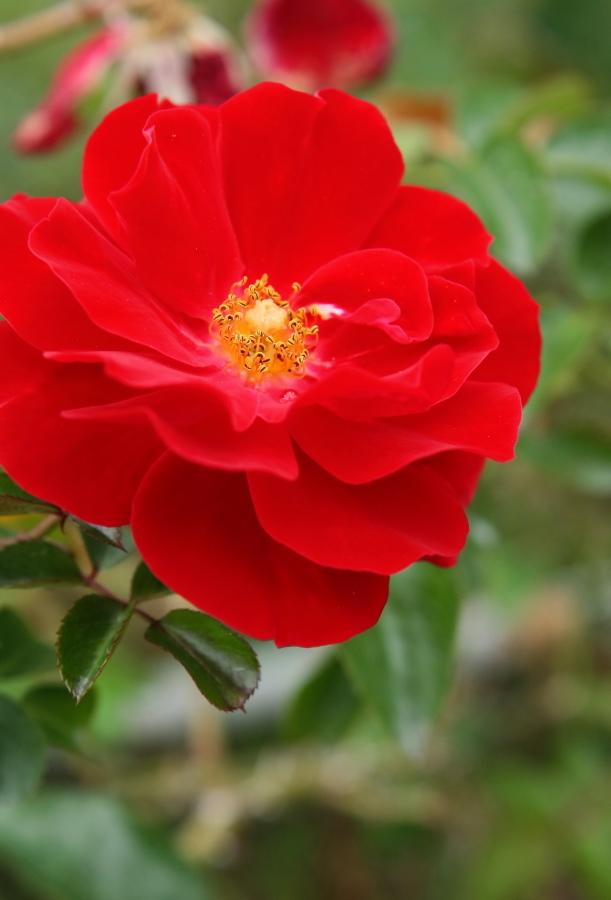Rosa Mainaufeuer