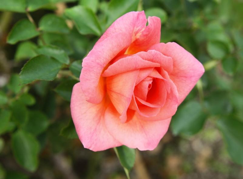 Rosa Zambra '93