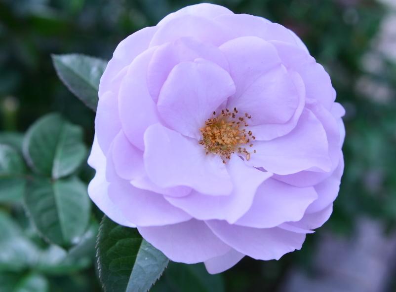 Rosa Blue Bajou