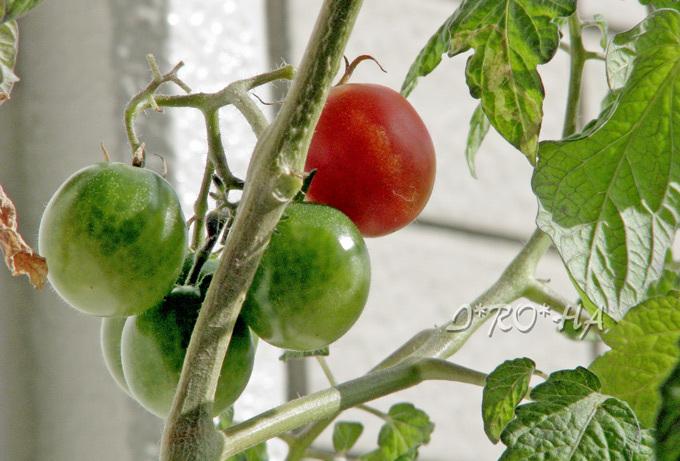 ベラ菜トマト_