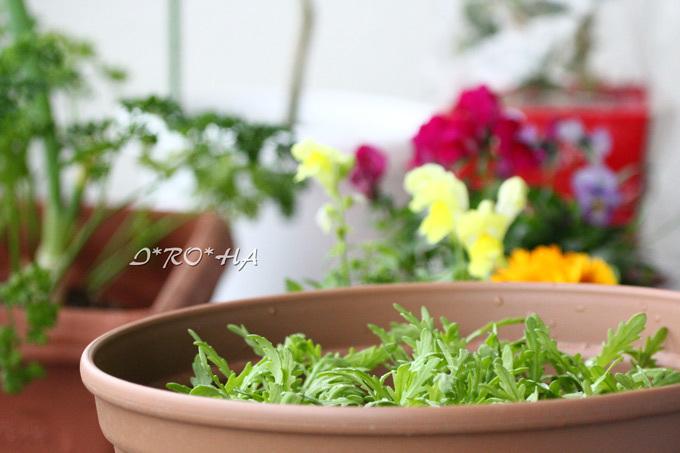 ベラ菜菊菜14日_