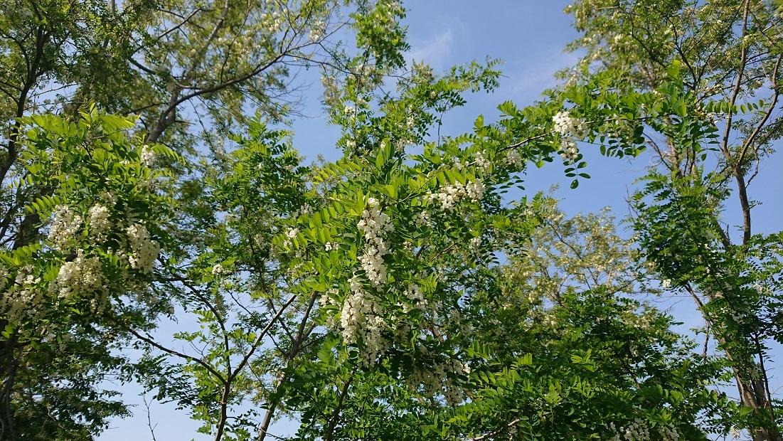 08 ニセアカシアの花