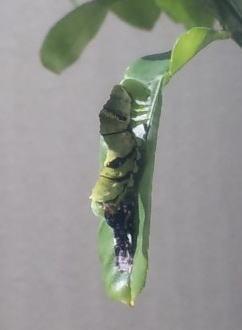 アゲハの幼虫脱皮