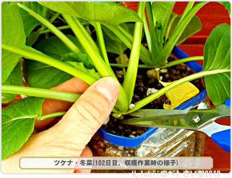 ペトさい(冬菜)38