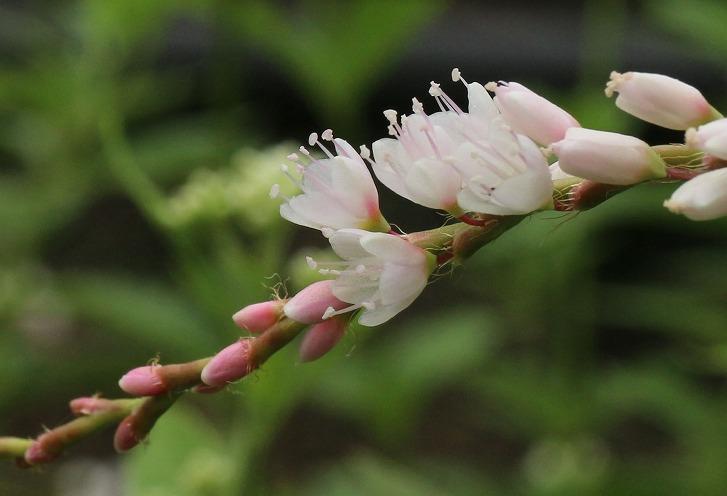 白花桜蓼 藤袴の中に一本 30 10 14