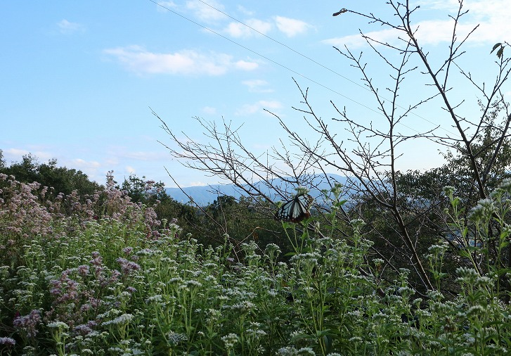浅葱斑遠い山を眺めて 30 10 13