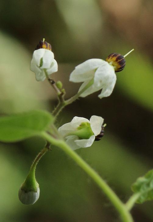 ヒヨドリジョウゴ 縦に、花後ろから 30 9 19