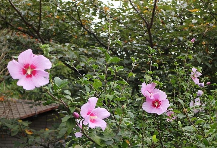 あい子さんちの芙蓉の花 30 10 18