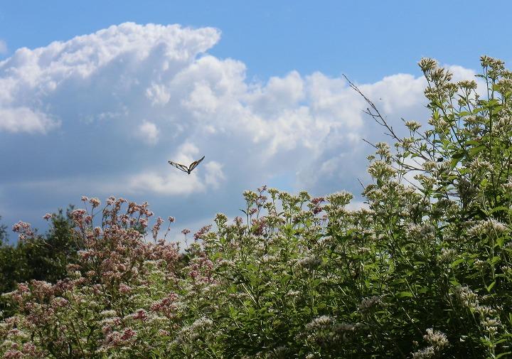藤袴の花に飛んでくる 浅葱斑 30 10 20