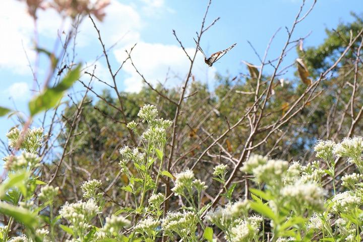 桜の枝をよけて飛んで来る浅葱斑 30 10 20